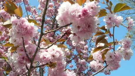 群馬パース大学の桜 花.jpg