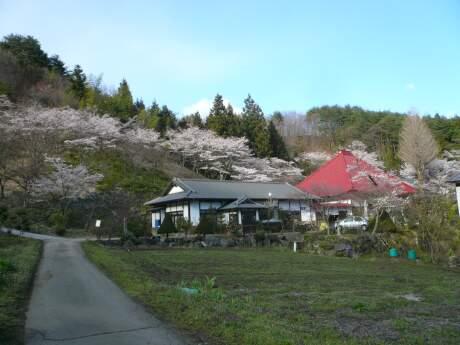 慶福寺の桜 遠くから.jpg