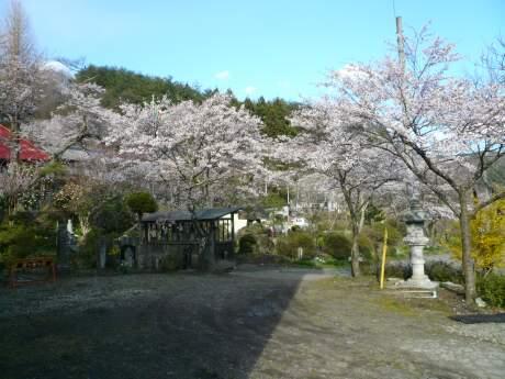 慶福寺の桜3.jpg