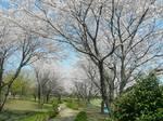 絹の台桜公園 大.jpg