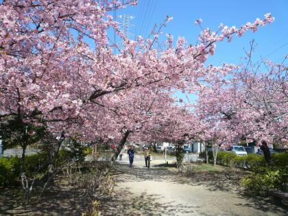 元総社みろく公園の桜