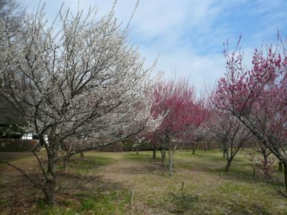 古河総合公園の梅