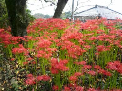 弘経寺の彼岸花