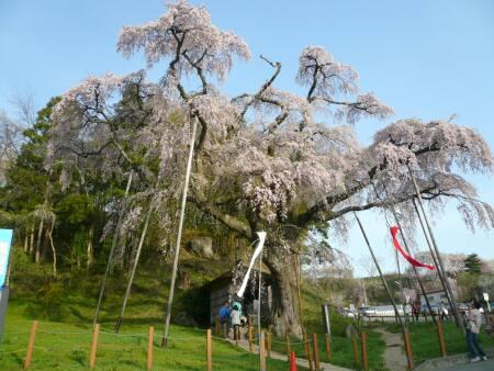 紅枝垂地蔵桜3.jpg