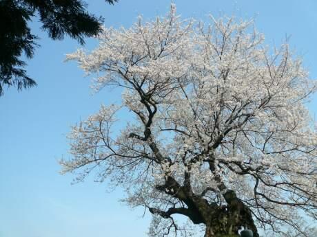 行人塚の桜2.jpg