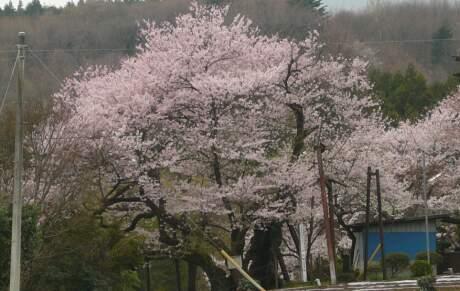 行田の彼岸桜2.jpg