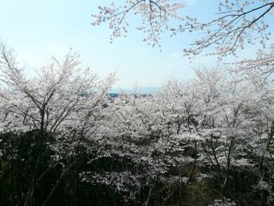黒羽城の桜