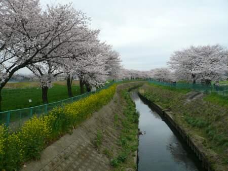 砂川堀の桜2.jpg