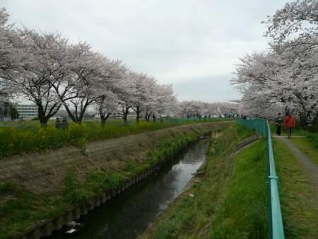 砂川堀の桜4.jpg