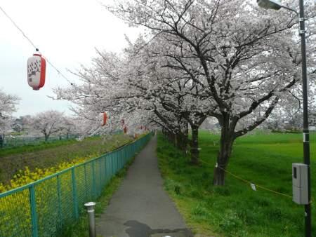 砂川堀の桜6.jpg
