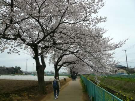 砂川堀の桜3.jpg