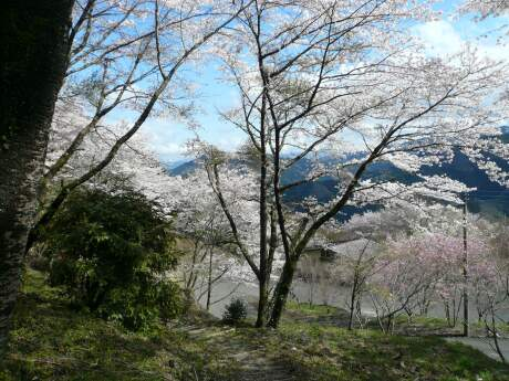 桜山公園の桜.jpg