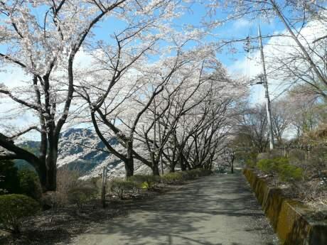 桜山公園の桜(春)3.jpg