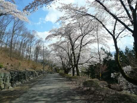 桜山公園の桜(春)4.jpg