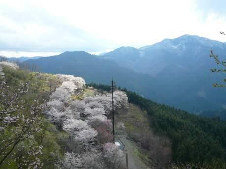 桜山公園の桜(春)55.jpg