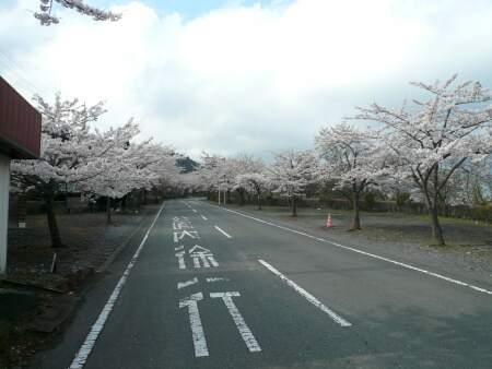 桜山公園の桜(春)56.jpg