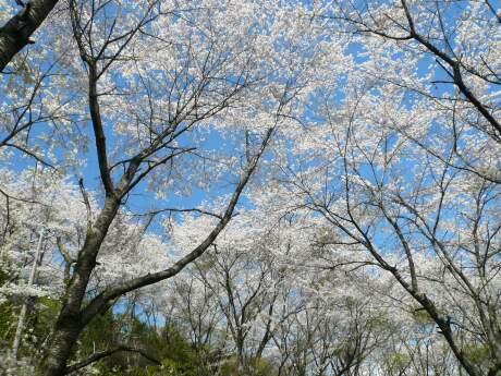 桜山公園の桜(春)2.jpg