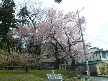 桜森のヒガンザクラ3.jpg