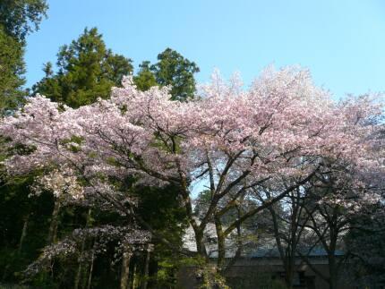 桜川のサクラ2.jpg