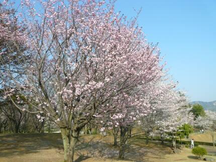 桜川のサクラ4.jpg