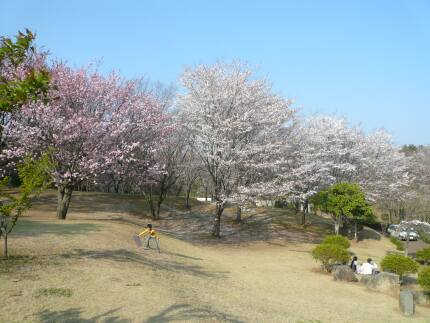 桜川のサクラ5.jpg