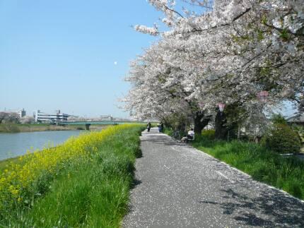 桜川堤の桜2.jpg