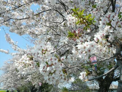 桜川堤の桜 花びら.jpg