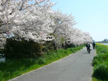 桜川堤の桜3.jpg