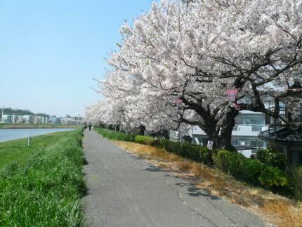 桜川堤の桜4.jpg
