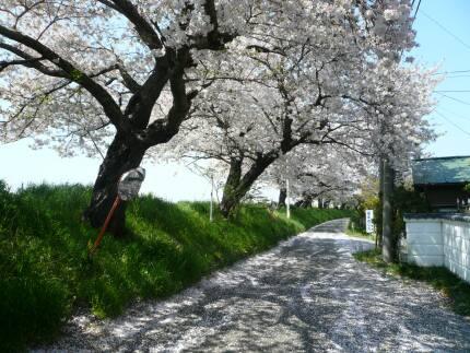 桜川堤の桜5.jpg