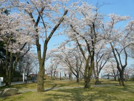 三八城公園の桜2.jpg