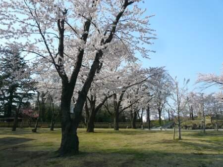 三八城公園の桜3.jpg