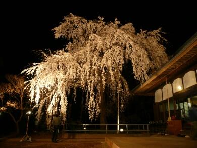 慈眼寺の桜 ライトアップ