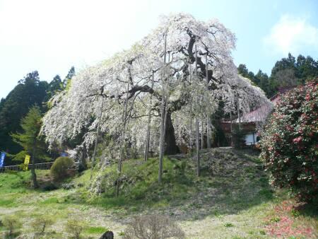 慈徳寺の種蒔き桜2.jpg