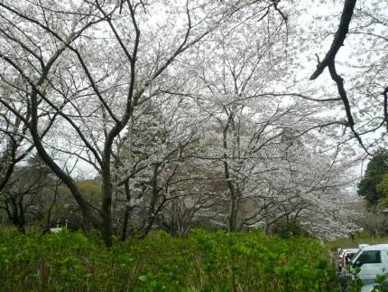 宗吾霊堂の桜2.jpg