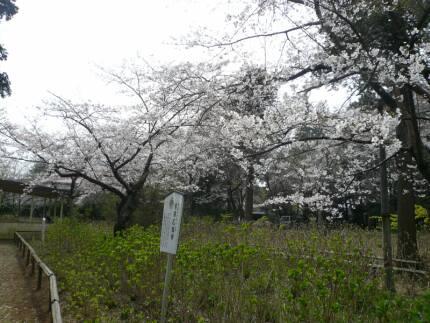 宗吾霊堂の桜4.jpg