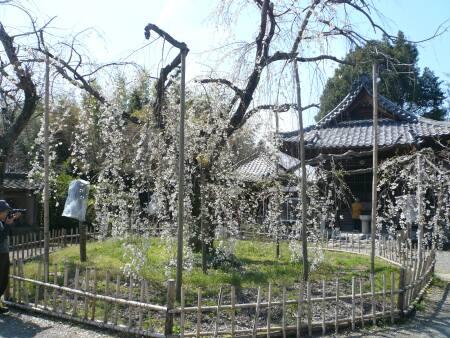 笑面寺の枝垂れ桜2.jpg
