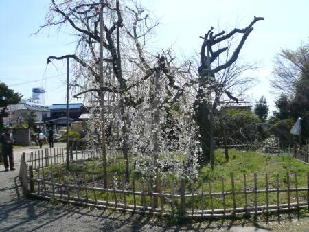 笑面寺の枝垂れ桜3.jpg