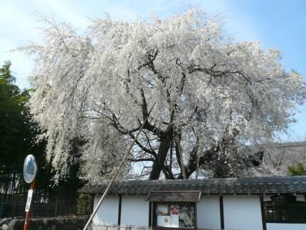 上宮寺の桜2.jpg
