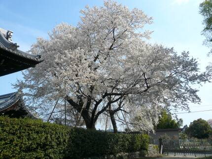 上宮寺の桜3.jpg
