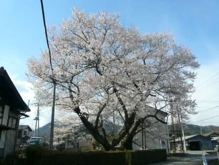 上津の姥桜.jpg