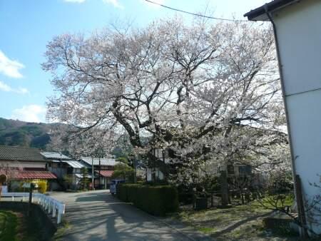 上津の姥桜1.jpg