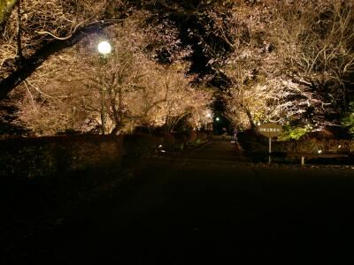 城峯公園 夜桜