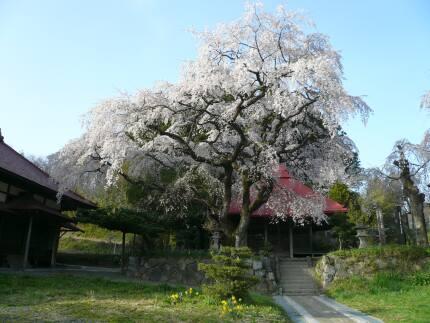 常林寺の桜2.jpg