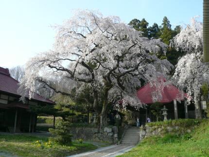 常林寺の桜3.jpg
