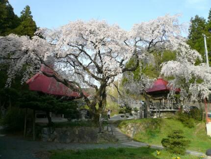 常林寺の桜1.jpg