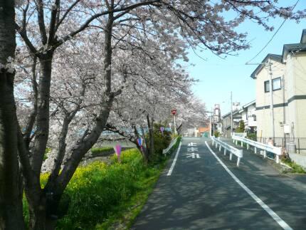 新河岸川の桜3.jpg