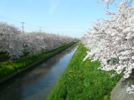 新河岸川の桜4.jpg