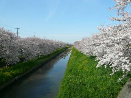 新河岸川の桜5.jpg
