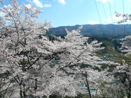新治小学校裏の桜2.jpg